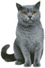 British Shorthair Cat - Cross Stitch Chart