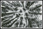 Looking up at Pine Trees - Cross Stitch Chart