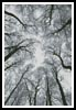 Looking up at Winter Trees - Cross Stitch Chart
