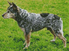Mini Blue Heeler - Cross Stitch Chart