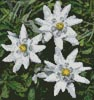 Mini Edelweiss - Cross Stitch Chart
