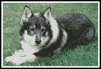 Swedish Vallhund - Cross Stitch Chart