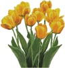 Yellow Tulips - Cross Stitch Chart
